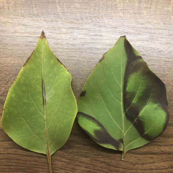 Blätter schonend in der Mikrowelle trocknen