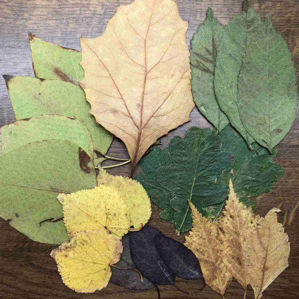 Blätter in unter zwei Tagen trocknen und pressen